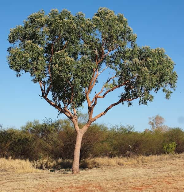Corymbia terminalis photo