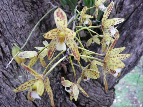 Cymbidium canaliculatum photo
