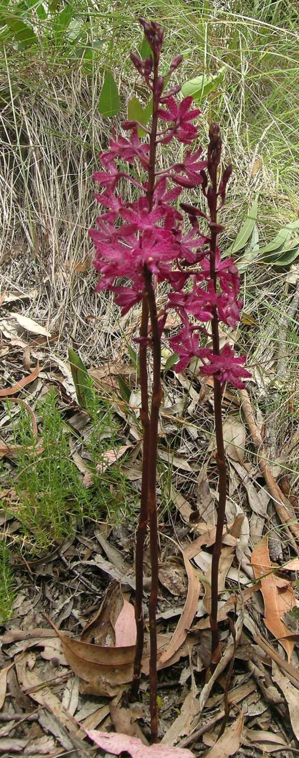 Dipodium punctatum photo
