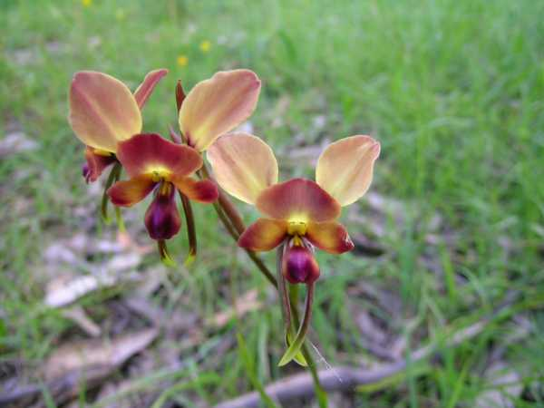 Diuris corymbosa photo
