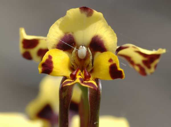 Diuris pardina photo