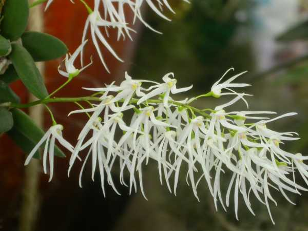 Dockrillia linguiformis photo
