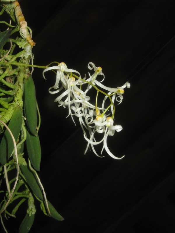 Dockrillia linguiformis photo