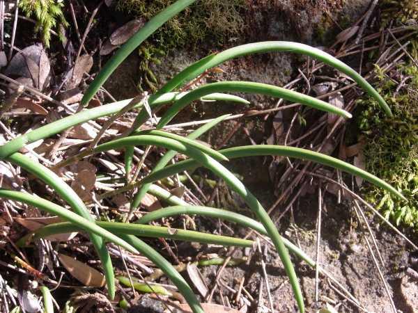 Dockrillia striolata photo