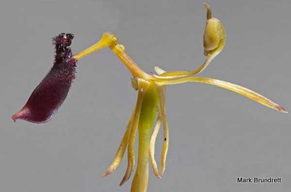 Drakaea thynniphila photo