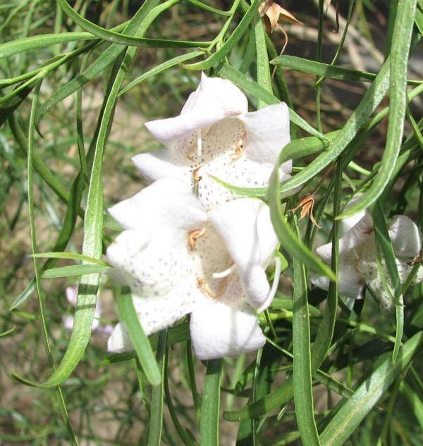 Eremophila bignoniiflora photo