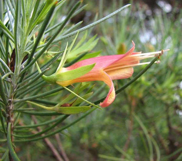 Eremophila oldfieldii ssp oldfieldii photo
