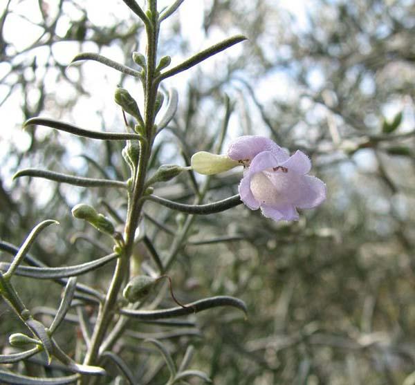 Eremophila scoparia photo