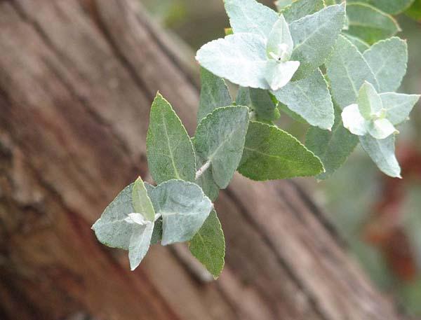 Eucalyptus crenulata photo