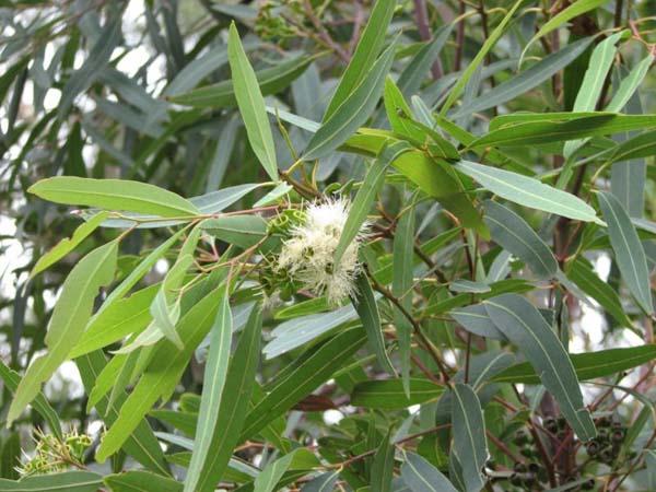Eucalyptus curtisii photo