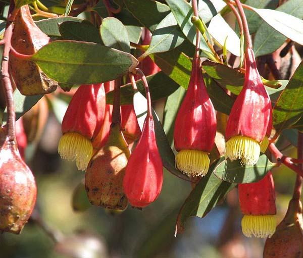 Eucalyptus forrestiana photo