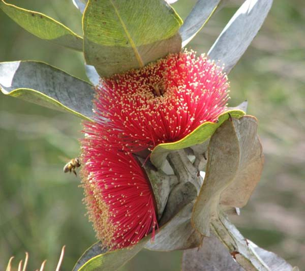 Eucalyptus macrocarpa photo