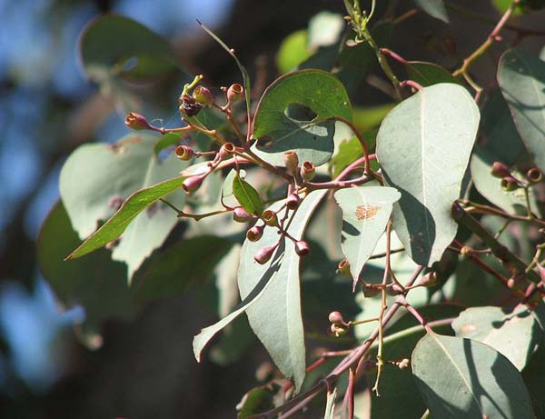 Eucalyptus polyanthemos photo