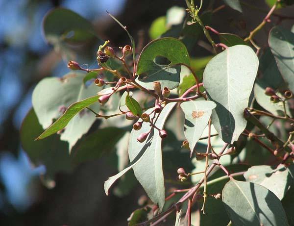 Eucalyptus polyanthemos photo