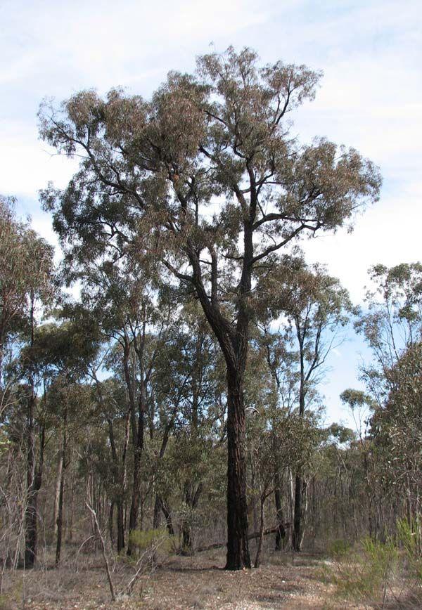 Eucalyptus tricarpa photo
