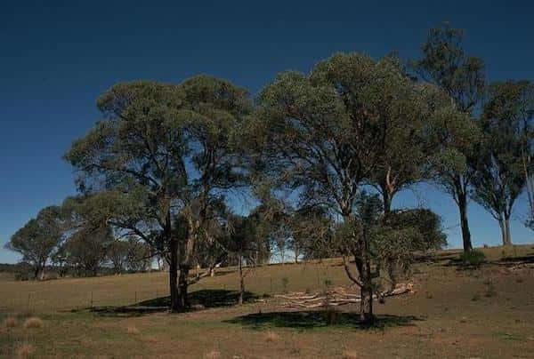 Eucalyptus acaciiformis photo