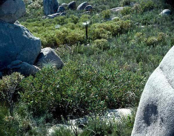 Eucalyptus acies photo