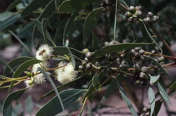 Eucalyptus bancroftii photo