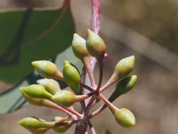 Eucalyptus caleyi photo