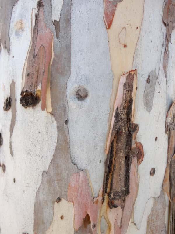 Eucalyptus camaldulensis photo