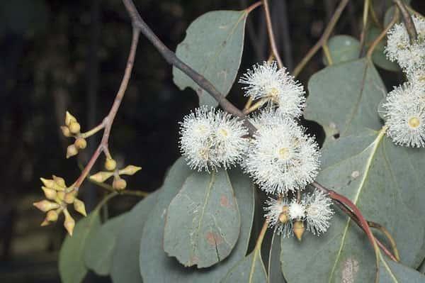 Eucalyptus camphora photo
