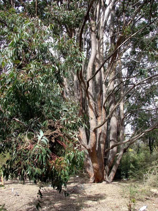 Eucalyptus cloeziana photo