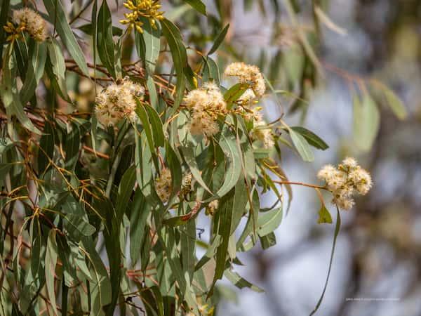 Eucalyptus crebra photo