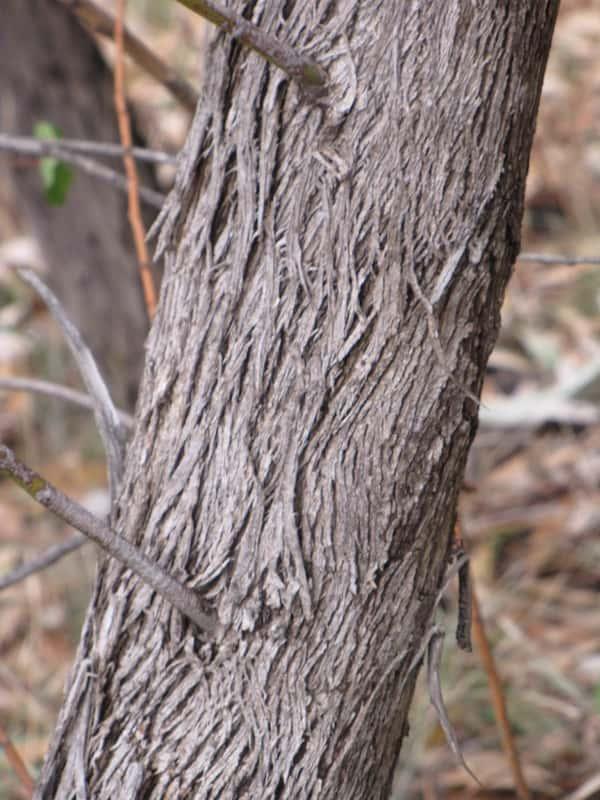 Eucalyptus goniocalyx photo