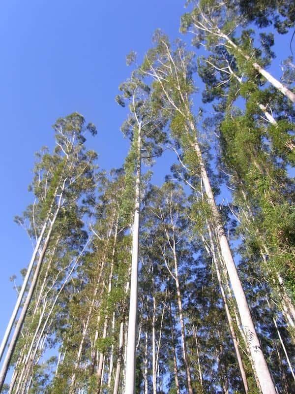 Eucalyptus grandis photo