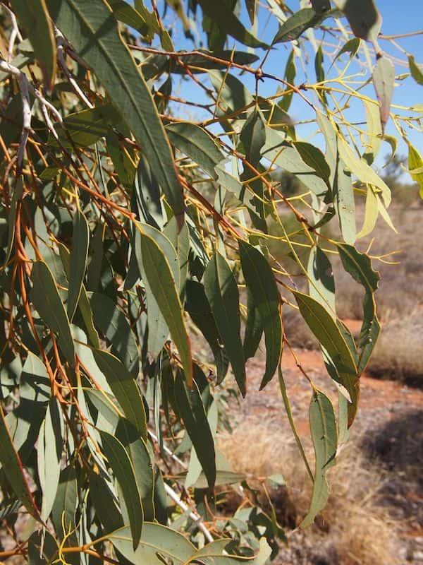 Eucalyptus intertexta photo