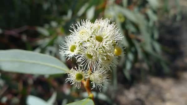Eucalyptus largiflorens photo