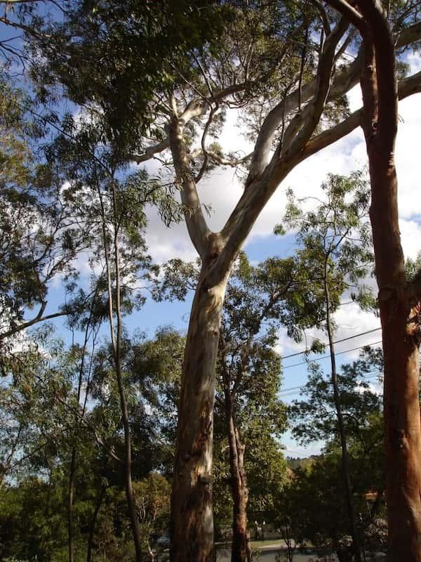 Eucalyptus leucoxylon photo
