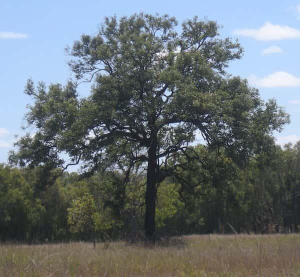 Eucalyptus melanophloia photo