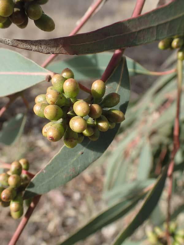 Eucalyptus michaeliana photo