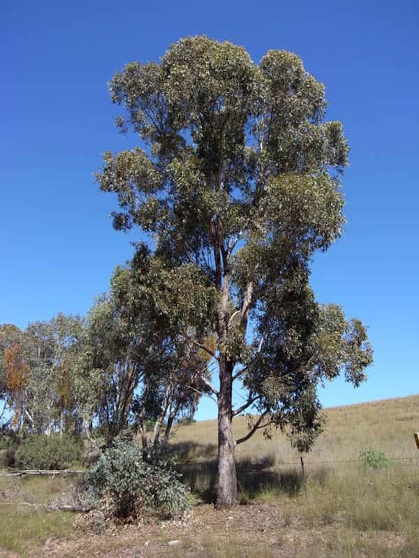 Eucalyptus microcarpa photo