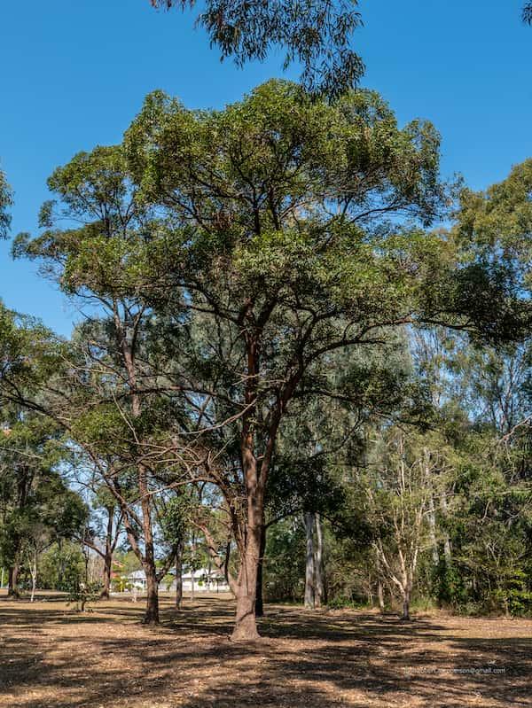 Eucalyptus microcorys photo