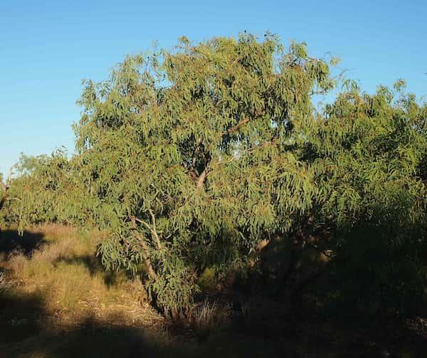 Eucalyptus microtheca photo