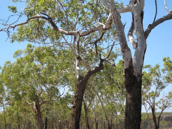 Eucalyptus miniata photo