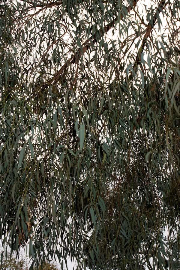 Eucalyptus nicholii photo