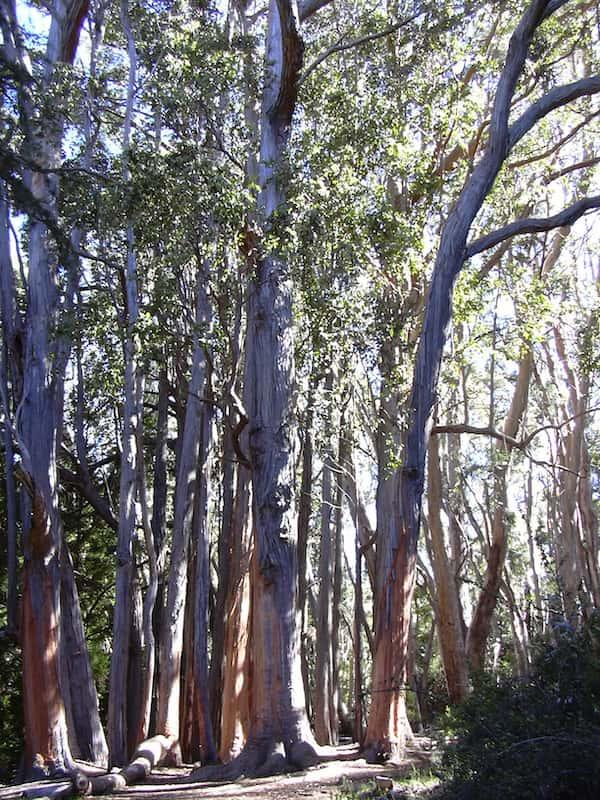 Eucalyptus obliqua photo