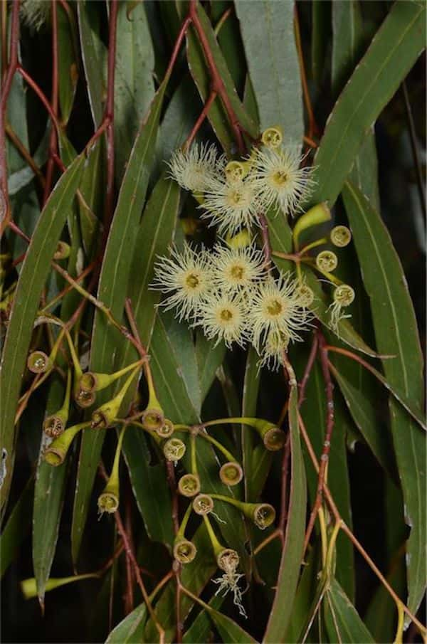 Eucalyptus ochrophloia photo