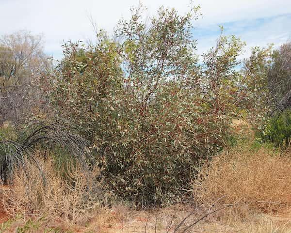 Eucalyptus pachyphylla photo