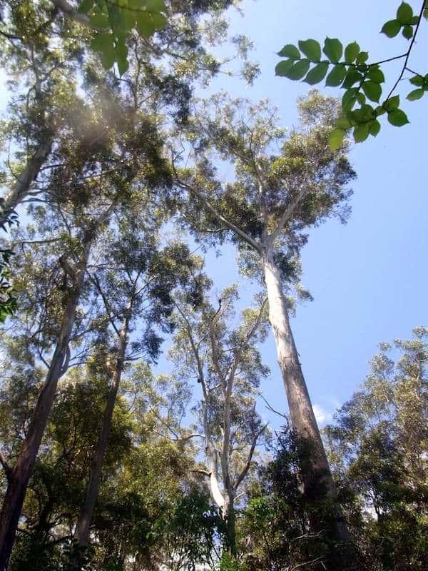 Eucalyptus pilularis photo