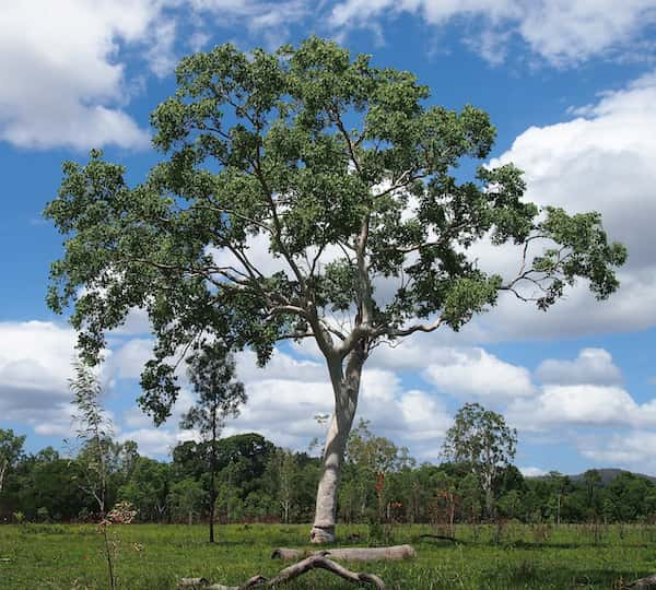 Eucalyptus platyphylla photo