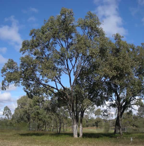Eucalyptus populnea photo