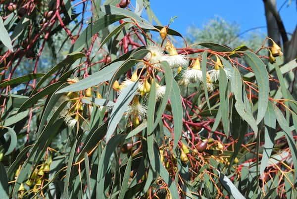 Eucalyptus porosa photo