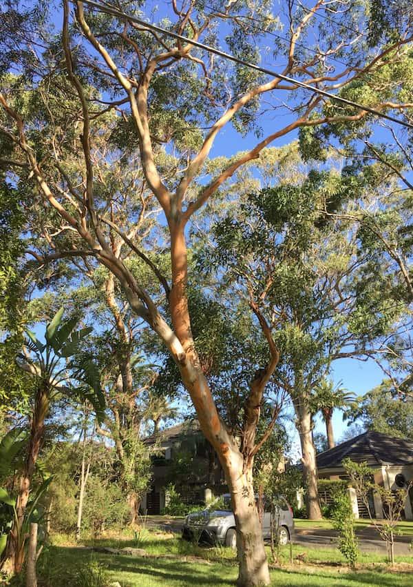 Eucalyptus punctata photo
