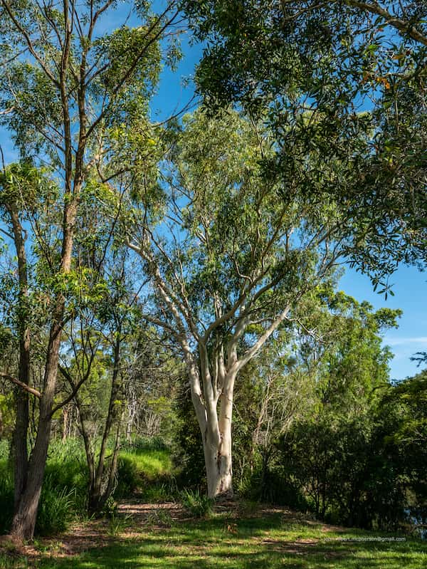 Eucalyptus racemosa photo
