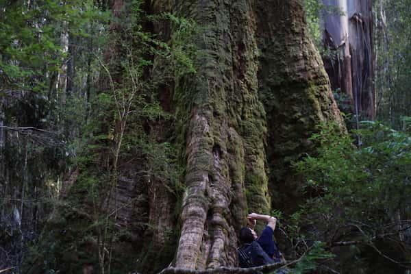 Eucalyptus regnans photo
