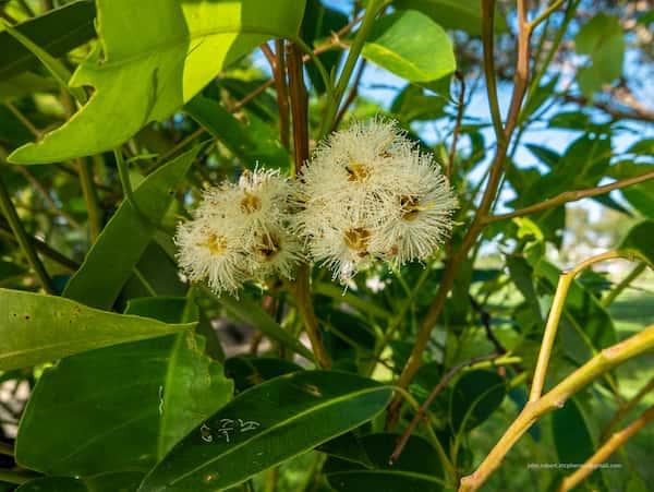 Eucalyptus robusta photo